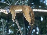 Collared Lemur  Female  Dupc