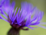 Cornflower  Close-up of Flower Head  Scotland