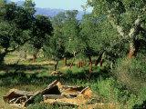 Cork Woodland Showing Freshly Harvested Cork Bark  Corsica