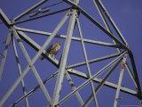 Common Buzzard  Adult on Electricity Pylon  Scotland