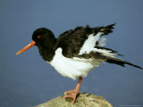 Oystercatcher on Rock  Scotland