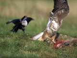 Buzzard  Fending off Magpie from Prey