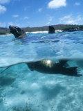 Galapagos Sea Lion  Playful Pups Cavorting  Galapagos