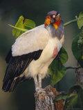King Vulture  with Full Crop  Tambopata River  Peruvian Amazon