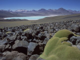 Bolivian Altiplano  Yareta  Andean Cushion Plant  Bolivia
