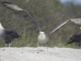 Waved Albatross  Take Off  Espanola Island  Galapagos