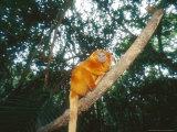 Golden Lion Tamarin  Poco Das Antas Reserve  Brazil