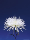 Chrysanthemum and Blue Sky