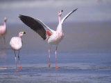 Jamess Flamingo  Courtship Display  Laguna Colorada  Bolivia