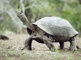 Giant Tortoise  Birds Picking Ticks  Isabella Island  Galapagos