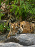 Bengal Tiger  11 Month Old Cub on Rocks  Madhya Pradesh  India
