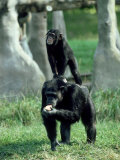 Chimpanzee  Baby Stands on Mothers Back  Zoo Animal