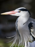 Grey Heron  Head and Chest Portrait Showing Breast Plumes  London  UK
