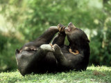 Malayan Sun Bear  Playing  Zoo Animal