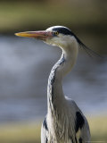 Grey Heron  Head and Chest Portrait Showing Head Plumes  London  UK
