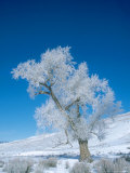 Narrowleaf Cottonwood  with Hoarfrost  USA