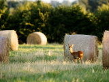 Roe Deer  Young Doe Standing Beside Rolled Hay Bail  Somerset  UK