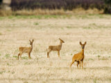 Roe Deer  Doe and Two Fawns in Fallow Field  UK