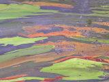 Rainbow Eucalyptus  Bark Pattern  Botanical Garden