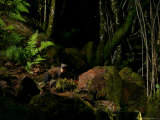 Pine Marten at Night  the Highlands  Inverness-Shire
