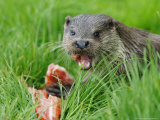 European Otter  Eating Salmon in Grass  Sussex  UK