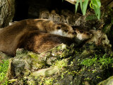 Pair of Otters Curled up at Base of a Willow Tree  Earsham  UK