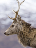 Highland Red Deer  Portrait of Stag  the Highlands  Scotland