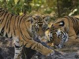 Bengal Tiger  6 Month Old Cub and Tigress  Madhya Pradesh  India