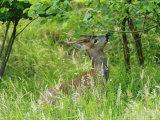 Roe Deer  Buck Reaching up to Eat Spring Leaves  Sussex  UK