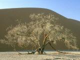 Camelthorn Acacia  Namib-Naukluft Park  Namibia