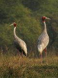 Sarus Crane  Pair Standing  Bharatpur  India