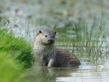European Otter  Standing in Shallows  Sussex  UK