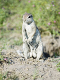 South African Ground Squirrel  Male in Breeding Condition  Central Kalahari Game Reserve  Botswana