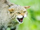 Wild Cat  Portrait of Captive Adult in Aggressive Pose  UK