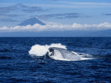 Blue Whale  Porpoising  Azores  Portugal