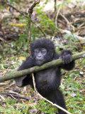 Mountain Gorilla  Youngster at Play  Rwanda
