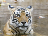 Bengal Tiger  Female in Water  India