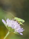 Oak Bush Cricket  Adult on Cornflower Head  UK
