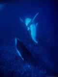 Humpback Whale  Mother and Calf  Polynesia