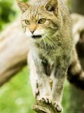 Wild Cat Adult  UK