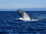 Blue Whale  Breaching  Azores  Portugal
