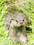 Otter Adult Emerging from Water  UK