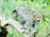 Wild Cat Adult in Aggressive Pose  UK