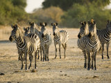 Crawshays Zebra  Small Group in Bush  Tanzania