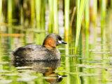 Little Grebe  Adult on Water  UK