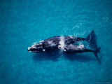 Southern Right Whale  Mother and Calf  Valdes Penins
