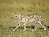 Cheetah  Female Striding  Maasai Mara  Kenya
