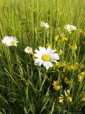 Wildflower Meadow  UK