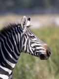 Burchells Zebra  Stallion Head Profile  Kenya