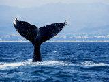 Humpback Whale  Raising Flukes